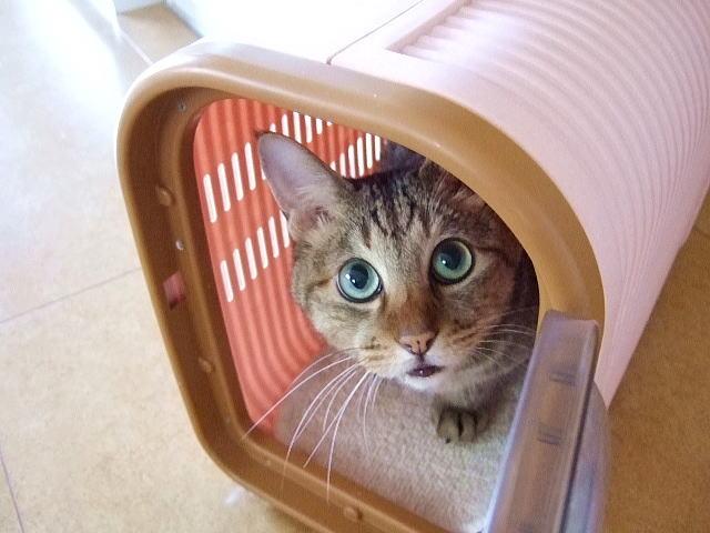 キャリーケースの中に入っている猫の写真