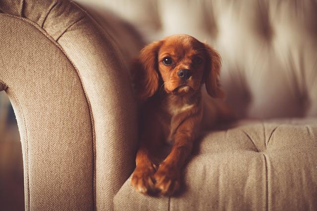 犬とソファの写真