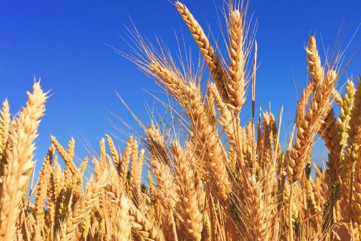 麦芽の画像