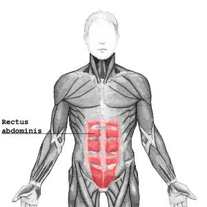 腹直筋のイメージ図