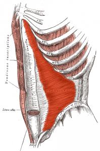 内腹斜筋のイメージ図