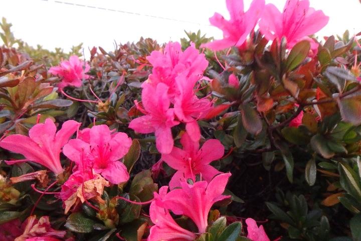 OLYMPUS STYLUS TG-870 Toughで撮影した花の写真