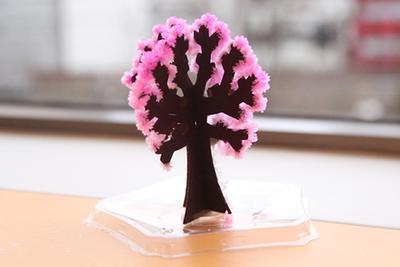 水をかけたら6時間で桜が咲く!?「Magic桜ミニ」